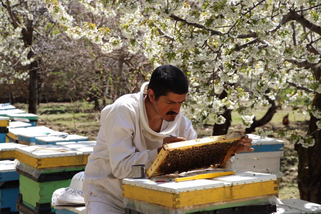 من در حال پیوند زدن در زنبورستان خودم